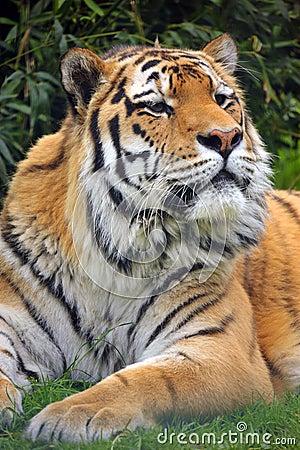 The Siberian tiger (Panthera tigris altaica)
