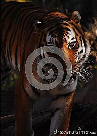 Siberian Tiger Portraiture
