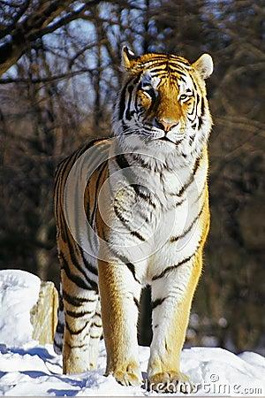 Siberian tiger in snow