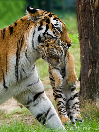 Free Siberian Tiger With Cub Stock Photos - 6054523
