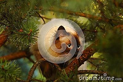 Siberiano del gatto