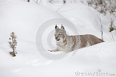 Siberische Lynx die in de Sneeuw legt