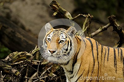 Siberische Tijger (altaica van Panthera Tigris)