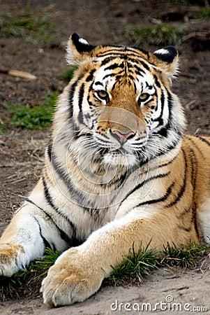 Sibirischer Tiger (der Pantheratigris altaica)