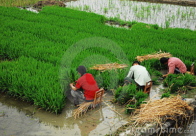 Sichuan :Chinese Farmer Editorial Stock Photo