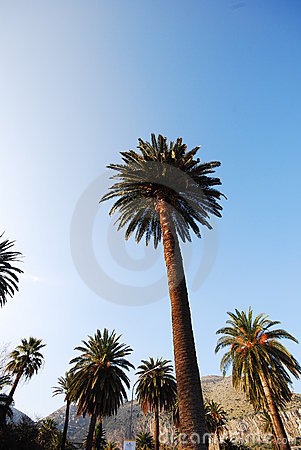 Sicilian palms