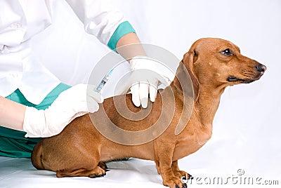 The sick dog and syringe