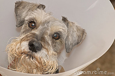 Sick schnauzer dog wearing elizabethan collar