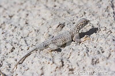 Side-blotched Lizard, Female
