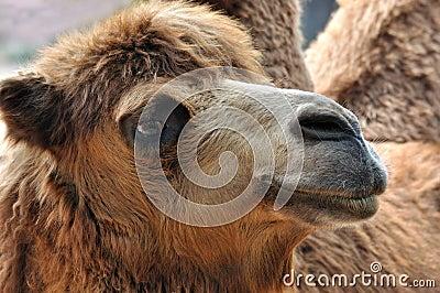 Side face of camel