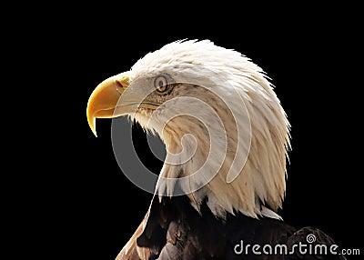 Side portrait of bald eagle