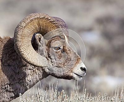 Side portrait of Big Horn Ram