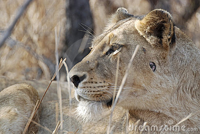 Side portrait of lioness