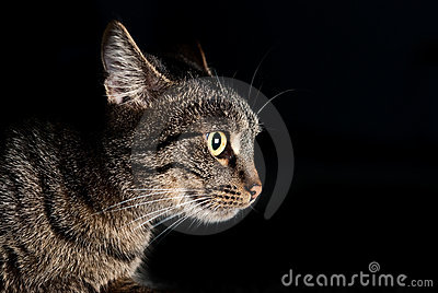 Side portrait of muzzle of a cat with yellow eyes