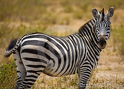 Side portrait of zebra