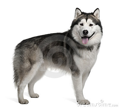 Side view of Alaskan malamute, standing