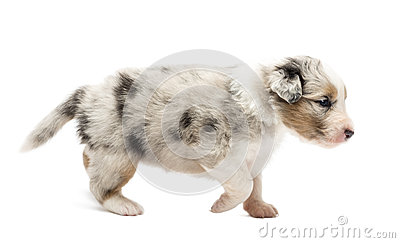 Side View Of An Australian Shepherd Puppy Stock Images - Image ...