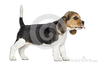 Side view of a Beagle puppy standing, sticking the tongue out