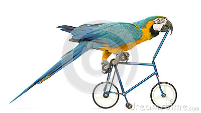 Side view of a Blue-and-yellow Macaw, Ara ararauna, 30 years old, riding a blue bicycle