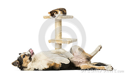 Side view of a Border collie lying on its back