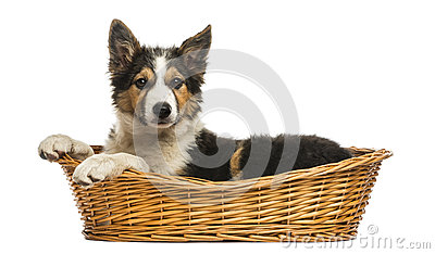 Side view of a Border collie lying in a wicker basket, isolated