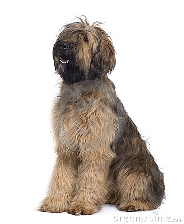 Side view of Briard dog, 9 Months Old, sitting