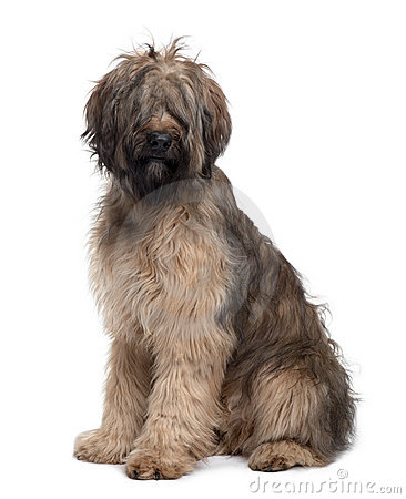 Side view of Briard dog, sitting