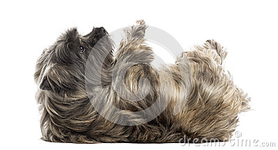 Side view of a Cairn Terrier lying on its back, submissive