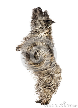 Side view of a Cairn Terrier upright, looking up, isolated