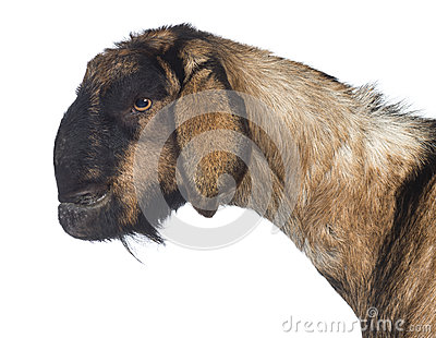 Side view Close-up of an Anglo-Nubian goat with a distorted jaw