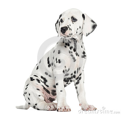 Side view of a Dalmatian puppy sitting, looking away, isolated