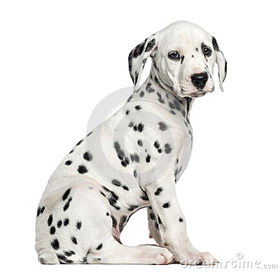 Side view of a Dalmatian puppy sitting, looking at the camera