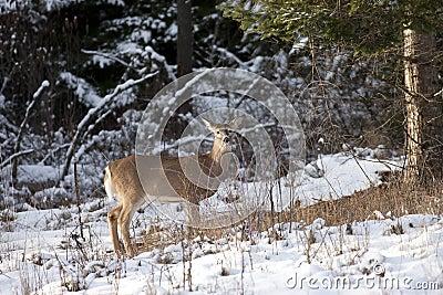 Side view of deer.