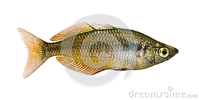 Side view of an Eastern Rainbowfish, Melanotaenia splendida splendida ...