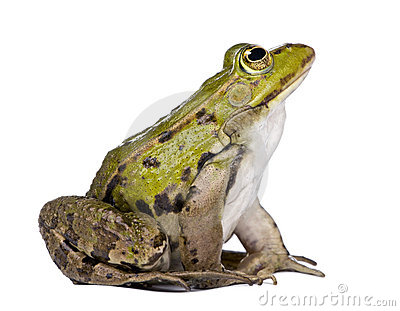 Side view of a Edible Frog looking up - Rana esculenta in front of a ...