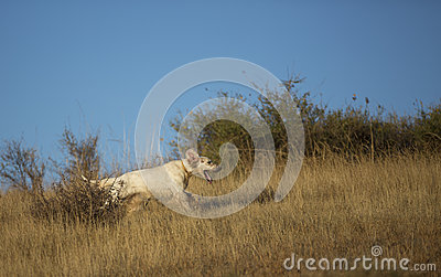 Side view of english setter