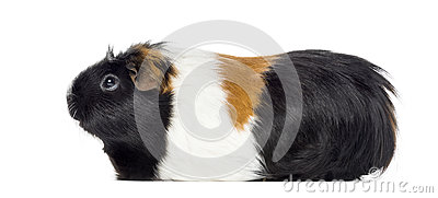 Side view of a Guinea pig, Cavia porcellus, isolated Stock Photo