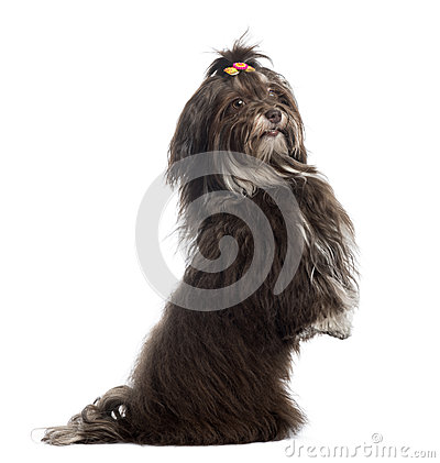 Side view of a Havanese upright, looking at the camera, isolated