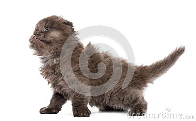 Side view of a Highland fold kitten, looking up, isolated