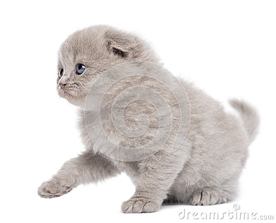 Side view of a Highland fold kitten pawing up, isolated