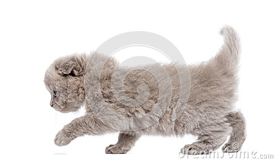 Side view of a Highland fold kitten walking, isolated