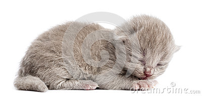 Side view of a Highland straight or fold kitten lying, eyes closed