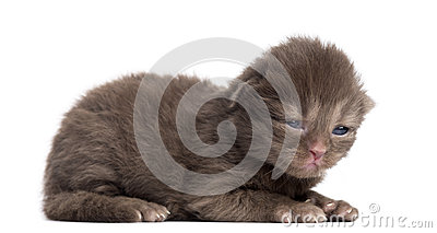 Side view of a Highland straight or fold kitten lying, 1week old