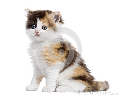 Side view of a Highland straight kitten sitting, isolated
