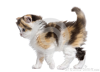 Side view of a Highland straight kitten walking, alert, isolated