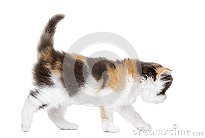 Side view of a Highland straight kitten walking, isolated