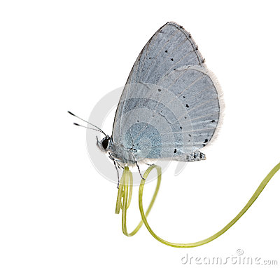 Side view of a Holly Blue landed on a plant stalk