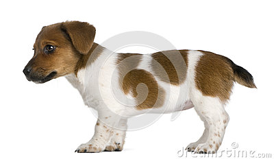 Side view of a jack russel terrier puppy