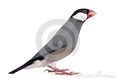 Side view of a Java Sparrow - Padda oryzivora