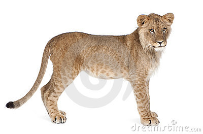 Side view of Lion cub, 8 months old, standing